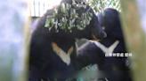 超可愛!廣原小熊與利稻小熊併籠共養 珍貴畫面曝光