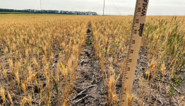 Millers, bakers fret as drought withers North America's spring wheat