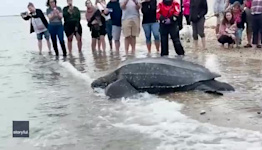 Rescued Leatherback Sea Turtle Returns to Waters of Cape Cod