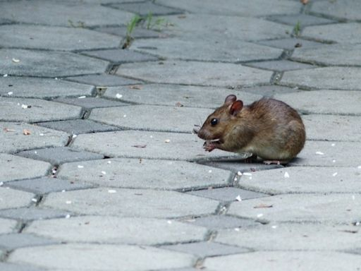 Nassau County Rat Problem Squarely In Crosshairs For Lawmaker