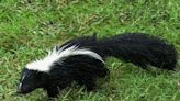 Oneida County skunk tests positive for rabies, heath department officials say
