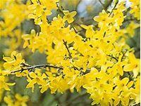 Lamiales | plant order | Britannica