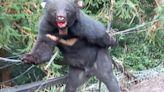 台灣黑熊出沒偷吃甜柿 東勢林管處啟動「黑熊沒柿」專案