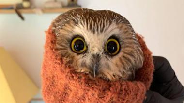 Rockefeller Center Christmas tree owl released back into the wild