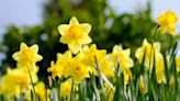 Volunteers needed to plant daffodils in Central Point