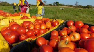 Agricultores denuncian intensión de EU de incrementar aranceles al jitomate