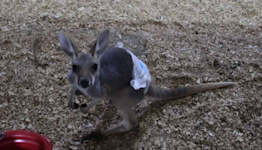 Scooby-Doo the baby kangaroo stolen in KY. Without special supplies, he's in danger.