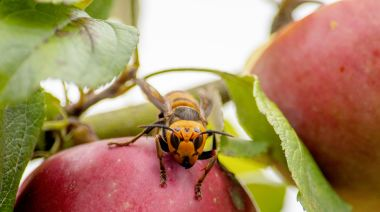 Authorities discover first 'murder hornet' nest in U.S.