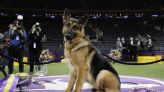 Westminster and work: Some show dogs serve, search or soothe