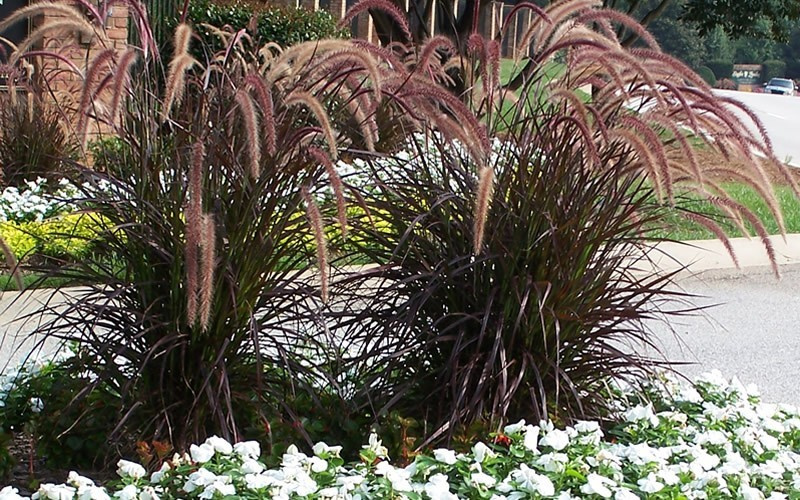 2016 lawn and landscape for Purple grasses for landscaping