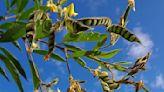 未來作物的古老身世:從語言爬梳樹豆的起源