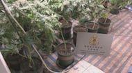 海關搗破大麻種植場檢250公斤大麻植物