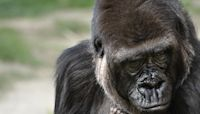 Baby gorilla born at Los Angeles Zoo is a girl