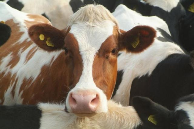 Is it true chocolate milk comes from brown cows?