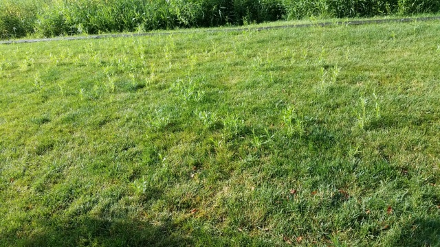 """I have these """"things"""" growing in my lawn. I cannot get rid of them. What are they and how to I make them go away?"""