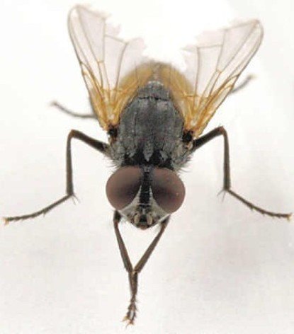 ¿Quisiera tener información sobre la Vida de una mosca y como se reproducen. Donde puedo buscar?