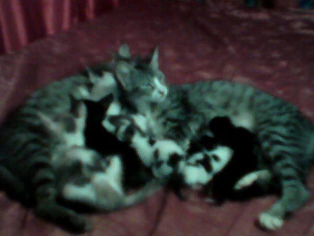 ¿Tengo cuatro gatitas en casa y una de ellas tuvo crías. ¿Es posible que las otras gatas se coman a esas crías o las agredan?¿Por qué motivo?
