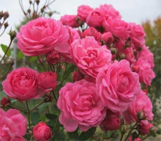 What kind of roses are your favorite ones?