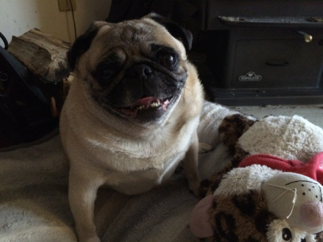 """Is my Pug a """"Small Breed"""" or a """"Medium Breed""""?"""