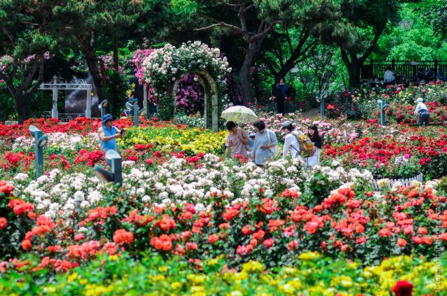 Bạn đã biết hết các vườn hoa hồng đẹp nhất Hàn Quốc?