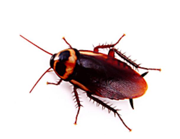 ¿Necesito quien me diga como eliminar las cucarachas? ya no se que hacer. Son una plaga terrible.?