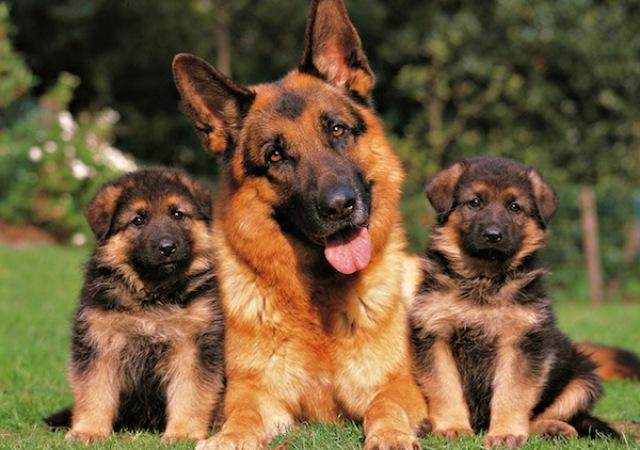 ¿De que raza son los perros policías?