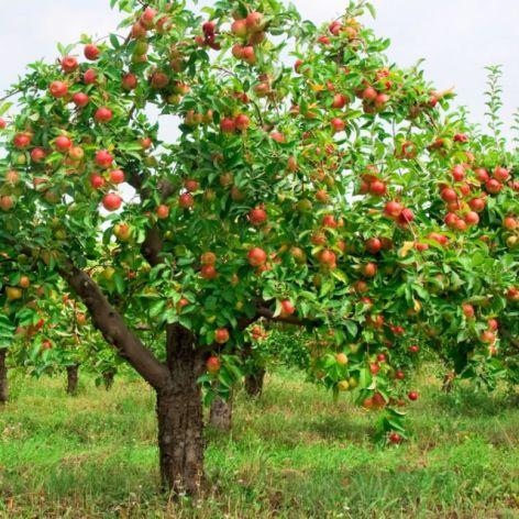 Vocês gosta de plantar arvores frutiferas?