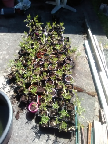 What do u think of this crop of tomatoes plants. About 90 plants?