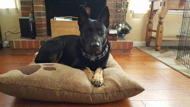 Do you think my dog is a purebred black German shepherd or something else?