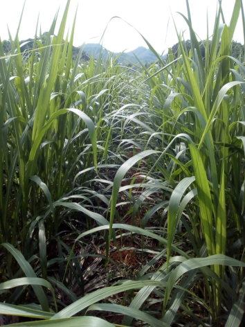 Bán giống cỏ va06,cỏ pakchong 1 voi xanh thái lan,cỏ voi xanh đài loan Lh 01676965655?
