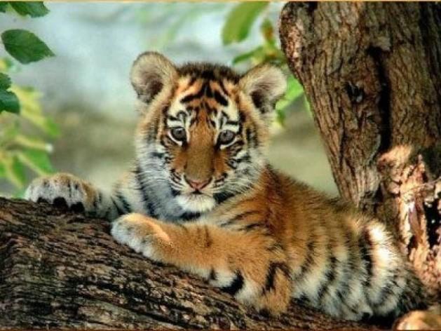 ¿Verdad ue los cachorros de tigre son mucho, pero mucho muy bonitos? っ◕‿◕)っ❤?