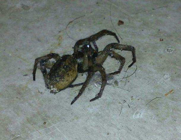 ¿Necesito saber por favor que tipo de araña es esta?