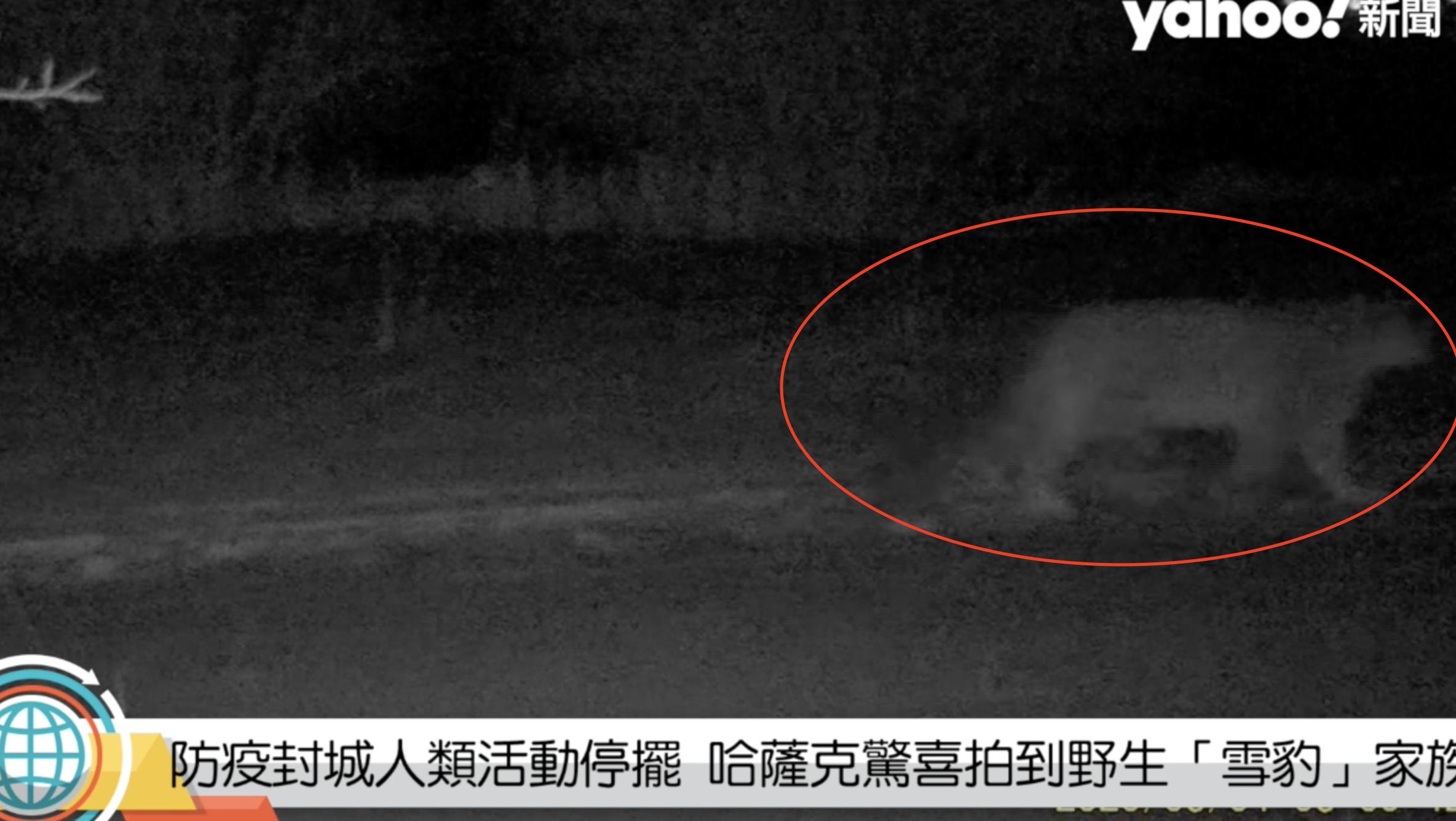 防疫封城人類活動停擺 哈薩克驚喜拍到野生「雪豹」家族
