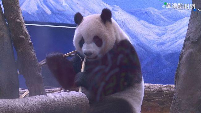大貓熊圓仔要7歲囉! 猛吃竹子超可愛
