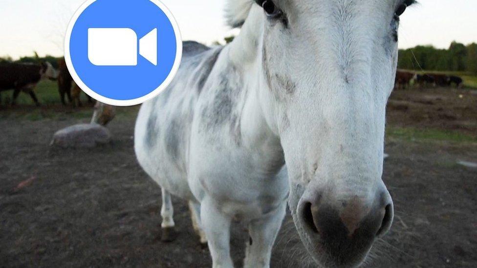 闖進Zoom網絡會議的驢子