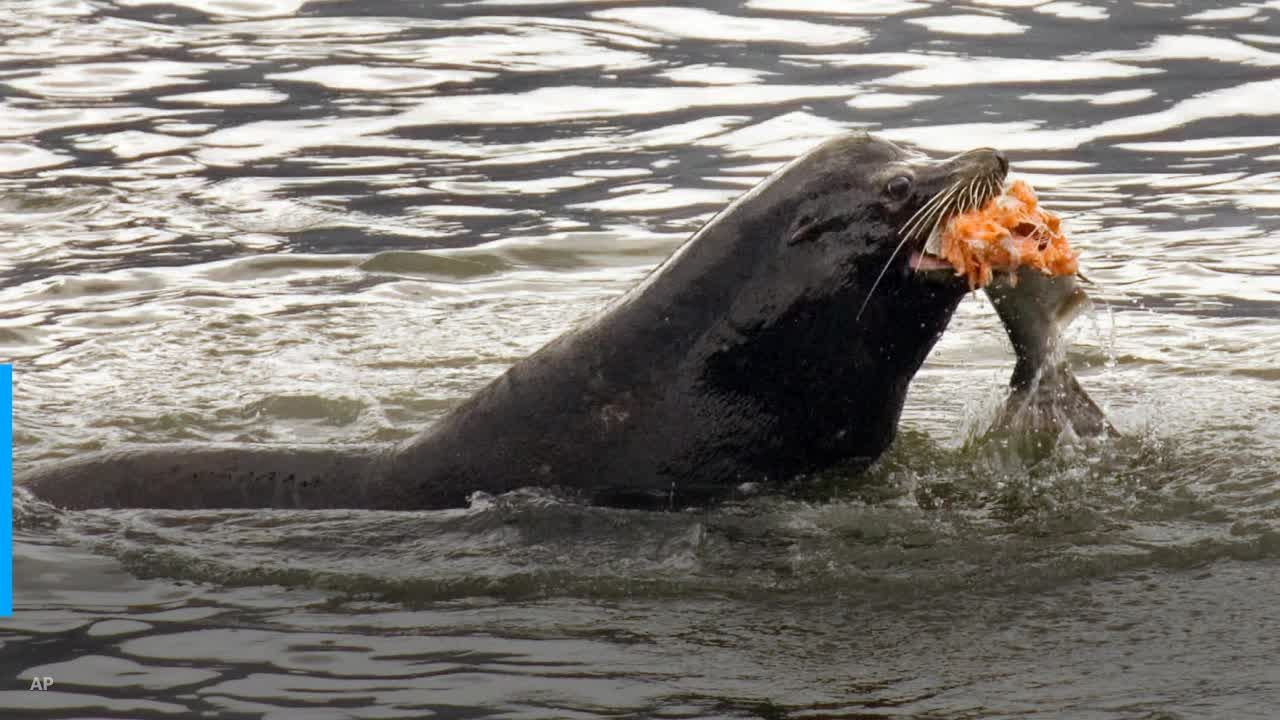 Authorities to allow sea lion killing to help struggling salmon population