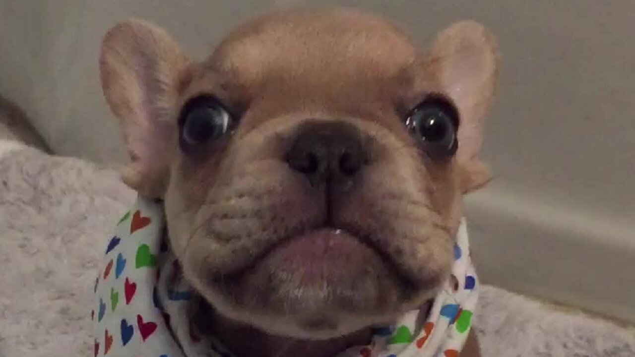 French Bulldog Puppy Adorably Says I Love You To Mom