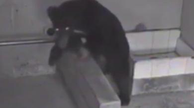 台中斷掌黑熊胖4公斤!最快月底野放