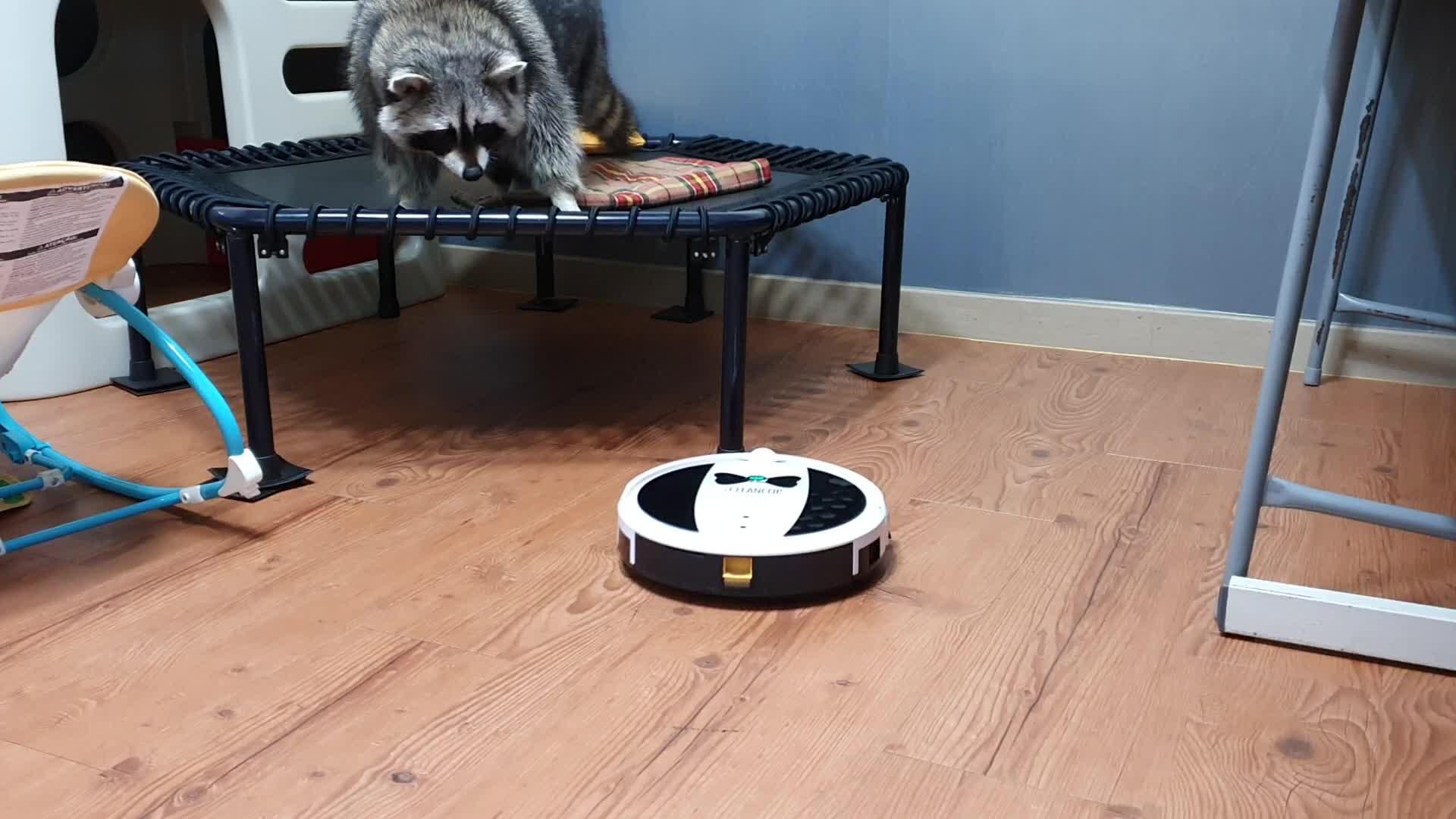 ca.news.yahoo.com: Raccoon unsure of robot vacuum, flees in terror