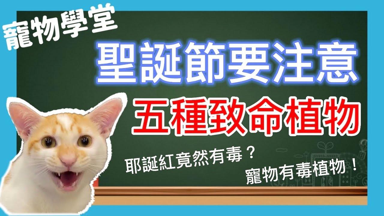 聖誕節要注意!五種致命植物,寵物絕對不能接觸、聖誕紅竟然有毒?|寵物知識 貓知識 狗知識|烏骨肌