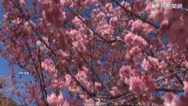 武陵過年櫻花季夯 遊客上看十萬人!