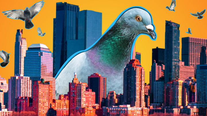 news.yahoo.com: Why American cities have so many pigeons
