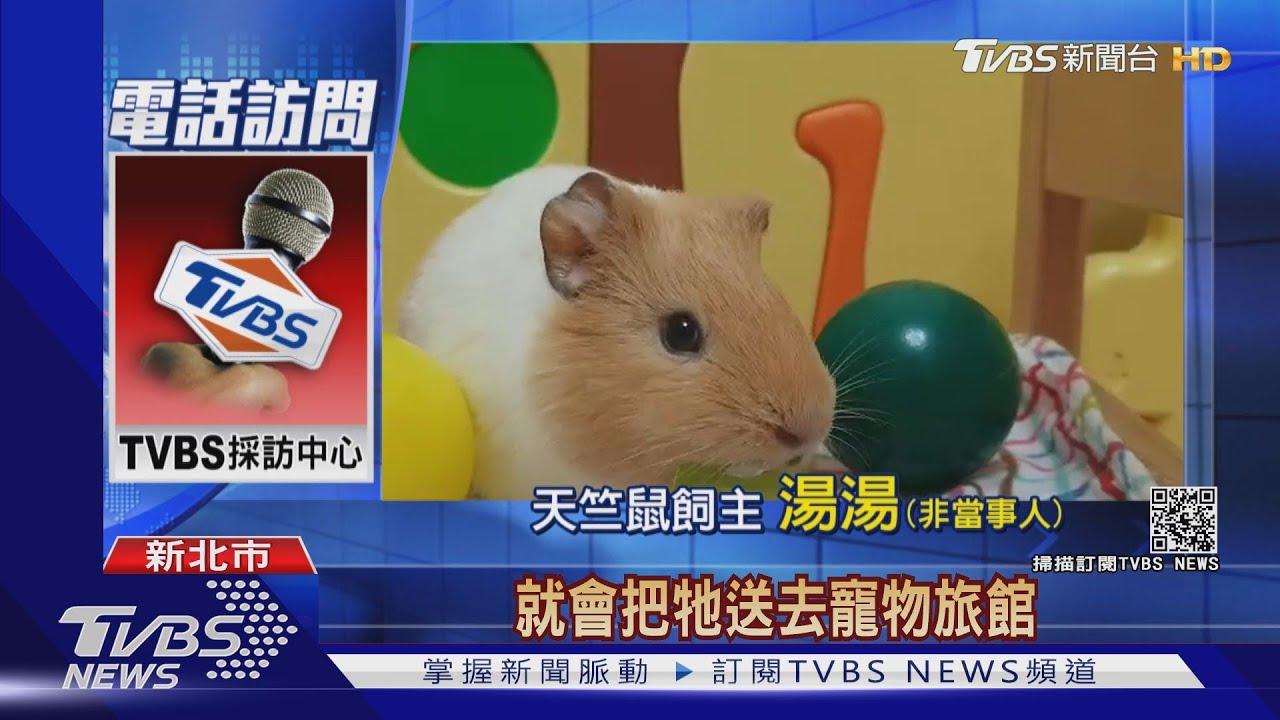 「天竺鼠車車」爆紅 民眾瘋養、寵物店賣光