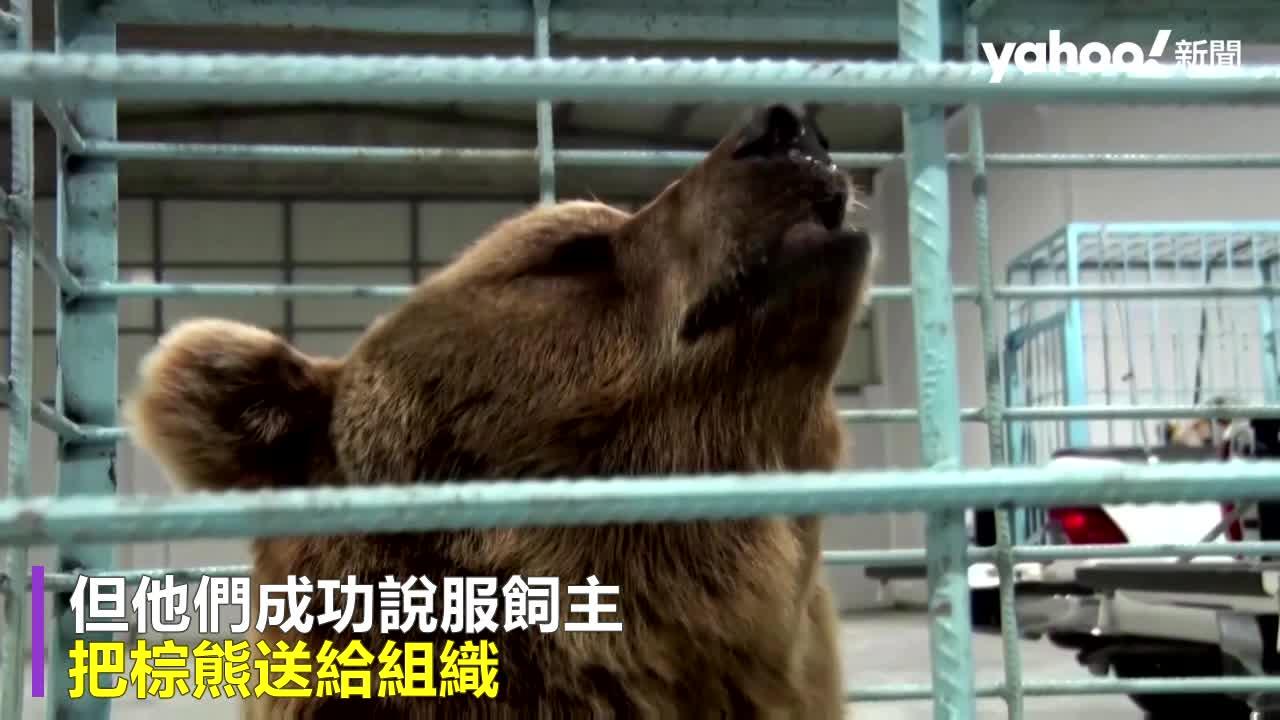 被人類當寵物圈養!6隻瀕絕棕熊野放回真正的「家」