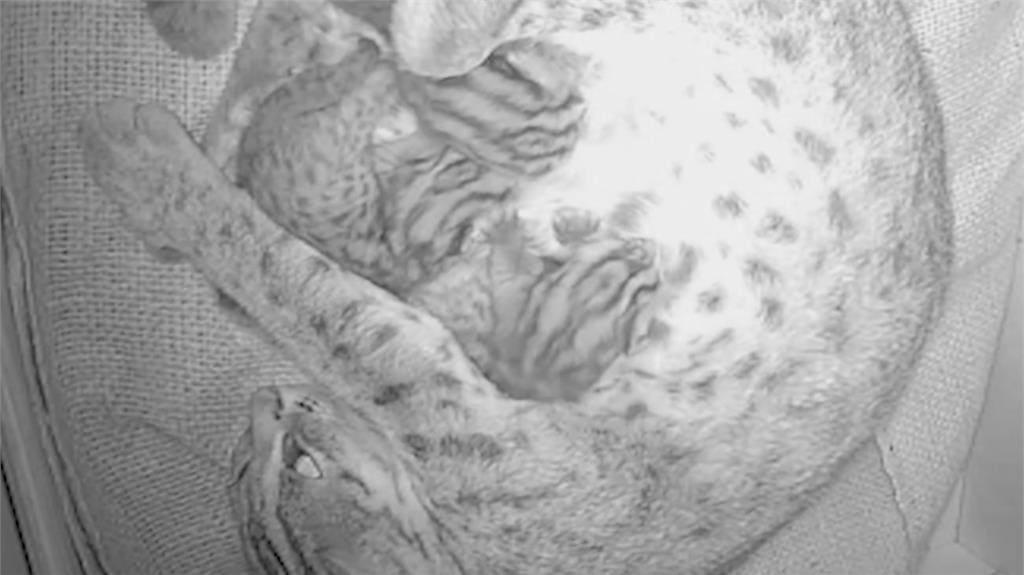 動物園石虎看對眼! 「平平」產下3隻寶寶當媽
