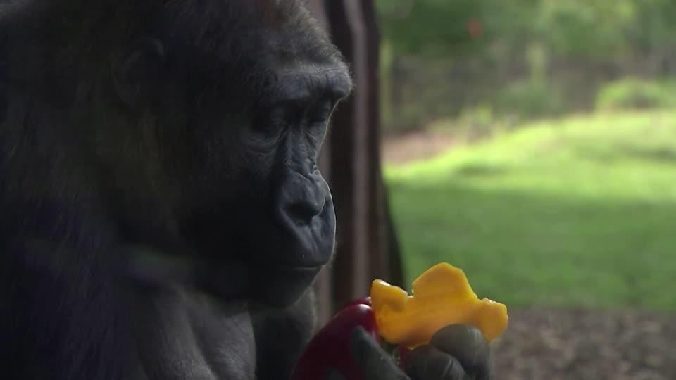 Gorillas Enjoy Mother S Day Picnic At London Zoo