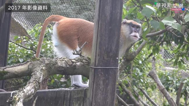 紅猴「男道」脫逃 北市動物園籲協尋