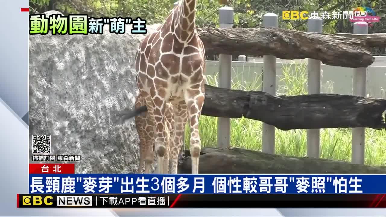 動物園又添新生命! 水豚寶寶「車車」萌樣人氣高
