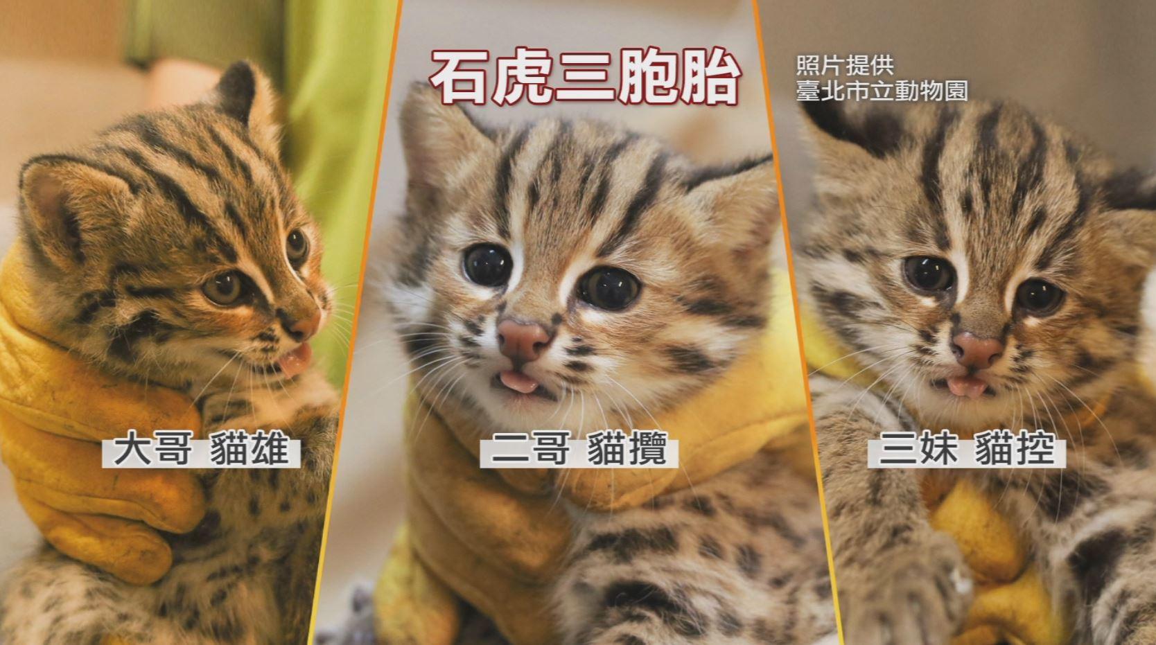 睽違28年! 北市動物園迎石虎寶寶 3胞胎「萌爆」模樣曝