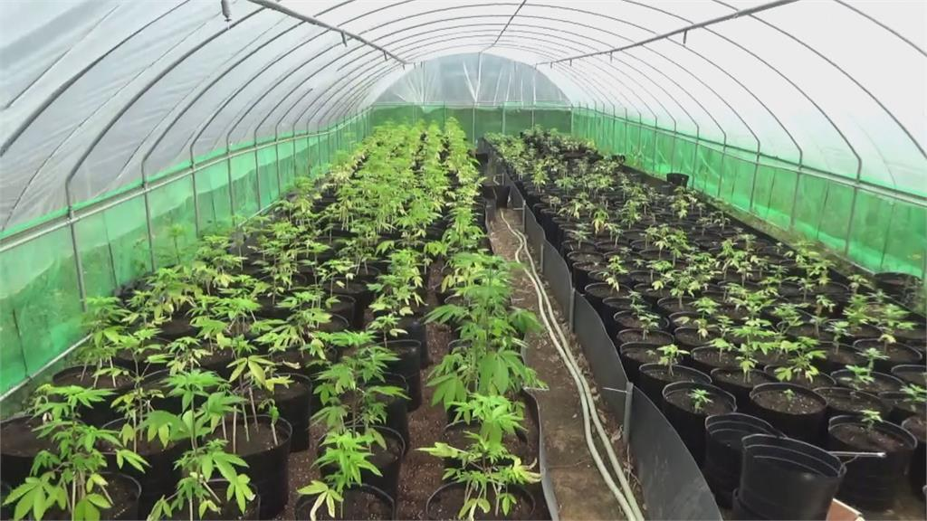 緝毒史上最大量! 調查局查獲1608株大麻植株
